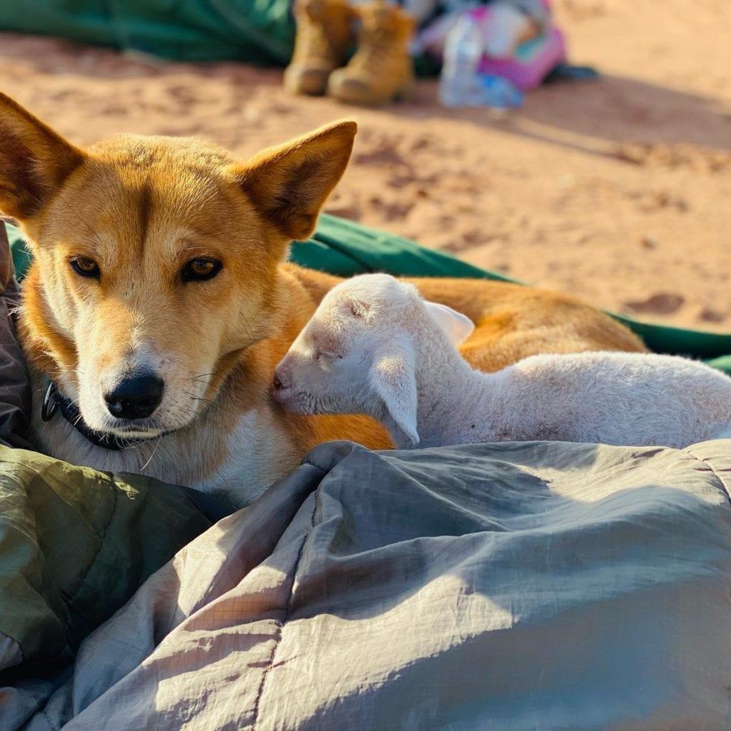 Our sleepy farm animals on our Overnight Outback Camel Trek