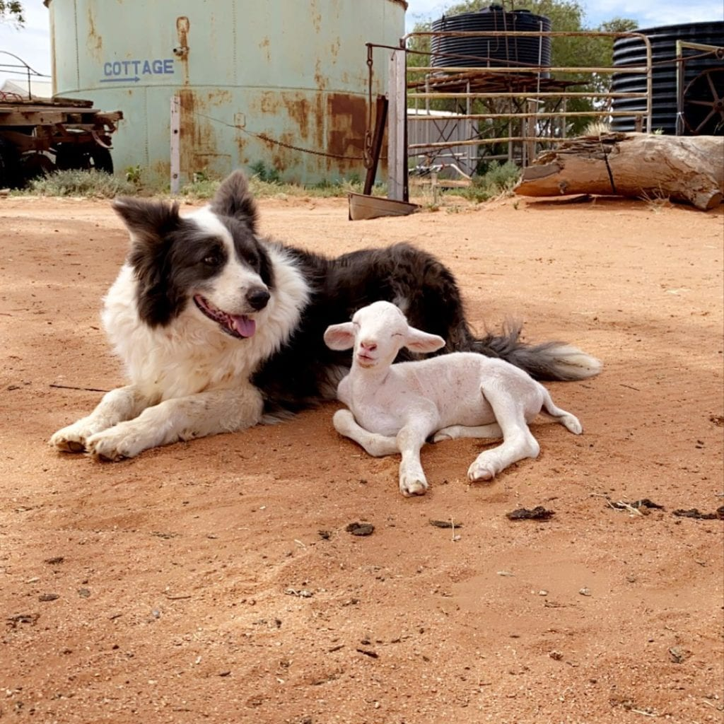 Outback Farm Animals