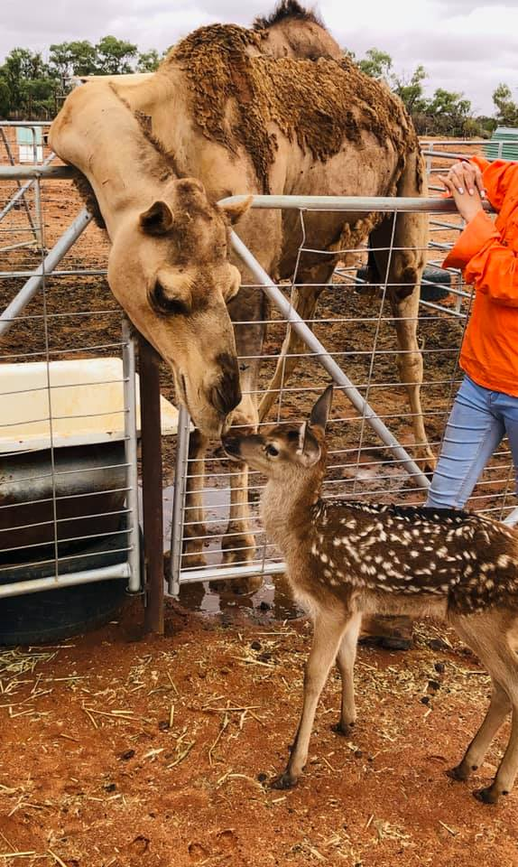 The deer and camels are getting along fine