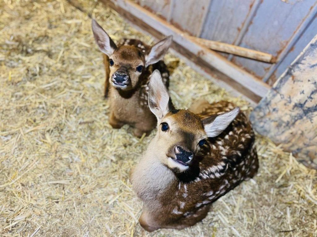 Meet Vixen and Blitzen